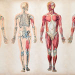 Classroom Activities: The Human Body